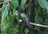 Antillean Crested Hummingbird; male