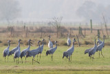 Kraanvogel / Crane