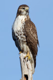 red-tailed hawk 338