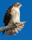 red-tailed hawk 339