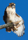 red-tailed hawk 340
