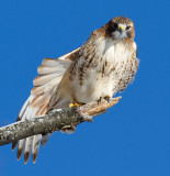 red-tailed hawk 341