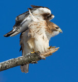 red-tailed hawk 342