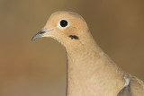 mourning dove 65