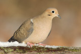 mourning dove 66