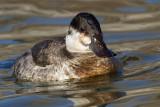 ruddy duck 1