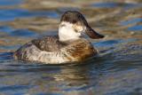 ruddy duck 2