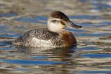 ruddy duck 3