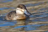 ruddy duck 5