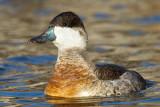 ruddy duck 7