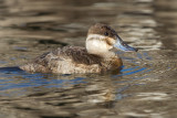 ruddy duck 8
