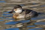 ruddy duck 9