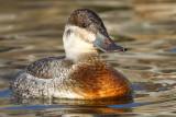 ruddy duck 11