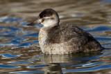 ruddy duck 12