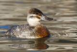 ruddy duck 13