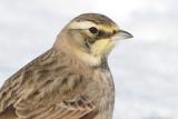 horned lark 79