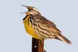 eastern meadowlark 9