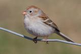 field sparrow 31