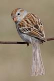field sparrow 32