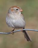 field sparrow 33