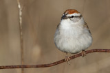 chipping sparrow 33