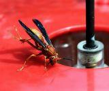 Wasp Handstand