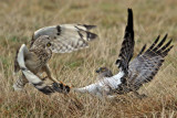 Short-eared Owl VS Northern Harrier