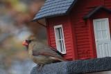 Female CardinalNovember 7, 2012
