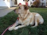 Glinda on Front LawnNovember 19, 2012