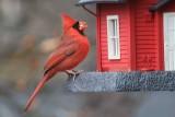 Cardinal on BirdfeederNovember 30, 2012