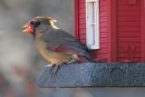 Female CardinalDecember 14, 2012