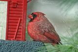 Textured Cardinal