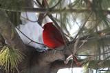 Cardinal in Pine TreeJanuary 3, 2013