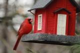 Male CardinalJanuary 30, 2013