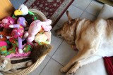 Glinda at Home With Her ToysFebruary 25, 2013