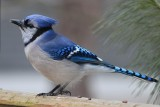 Bluejay on DeckMarch 4, 2013