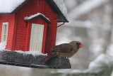 Female Cardinal in the SnowMarch 19, 2013