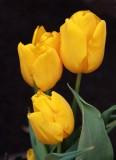 Yellow Tulip MacroMarch 31, 2013