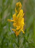 Liten färgginst (Genista tinctoria ssp. tinctoria)