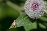 Borrfluga sp (Tephritidae sp)