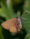 Krattsnabbvinge (Satyrium ilicis)