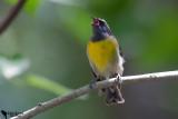 Coerebidae-Bananaquit