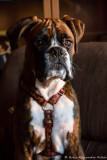 ..a 6 month old Boxer
