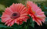 Peachy Daisy Pair Barbs Garden