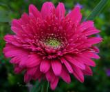 Deep Pink Daisy thingamajig Barbs