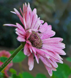 Pinkesh Lavender Daisy