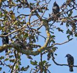 European Starlings - Fall Coloration