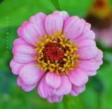 Pinky-lavender flower Barbs garden