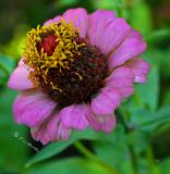 Pinky Lavender Barbs garden full bloom