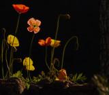 Rossmoor Flowers - Mexican Poppies